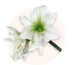 Amaryllis blancs