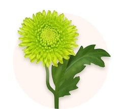 Crisantemos verdes