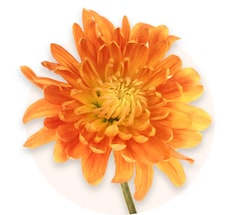 Crisantemi arancioni