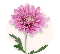 Rosa Chrysanthemen