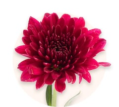 Rote Chrysanthemen