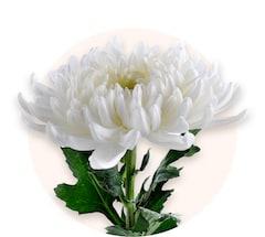 Crisantemi bianchi