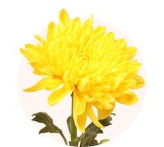 Chrysanthèmes jaunes