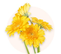 Żółte gerbery miniaturowe