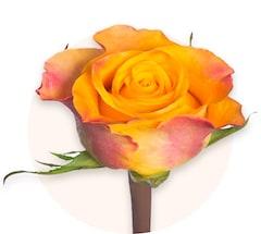 Orange Rosen