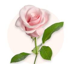 Rosas rosa