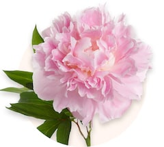 Pivoines roses