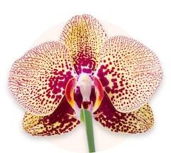 Orchidea tygrysia