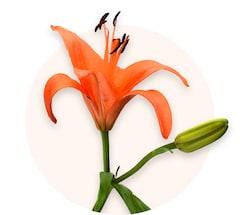 Orange Lilien