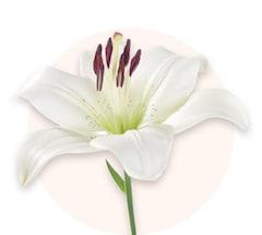 Weiße Lilien