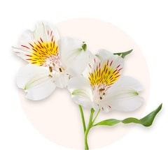 Alstroemerias blancs