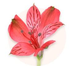 Alstroemerias rouges
