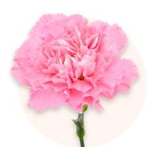 Claveles rosas