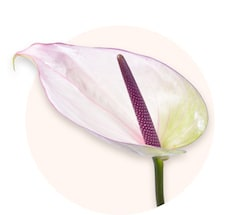 Anthurium bianco