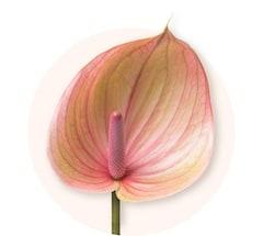 Rosa Anthurium