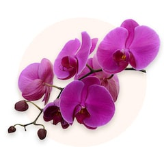Orquídea lila
