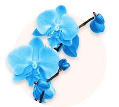 Orchidea blu